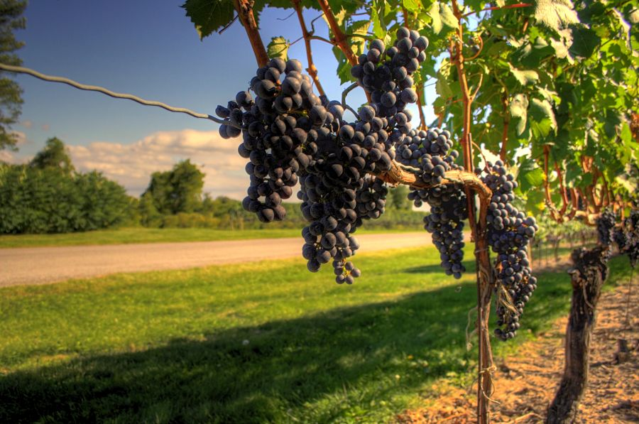 Wine grapes growing in the Canadian wine region of Niagara-on-the-Lake, Ontario in mid-September. Credit: By Graham - Flickr: Wine Country, CC BY 2.0, https://commons.wikimedia.org/w/index.php?curid=12455210